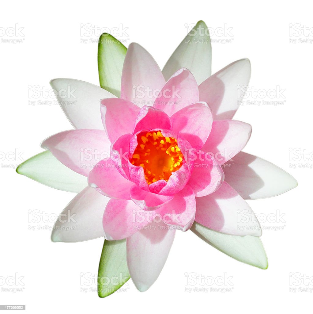 Pink lotus flower on a white background.. stock photo
