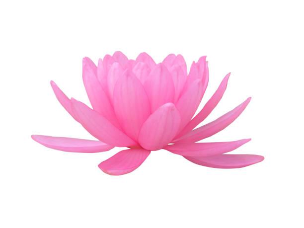 rosa lotusblume - lotus symbol stock-fotos und bilder