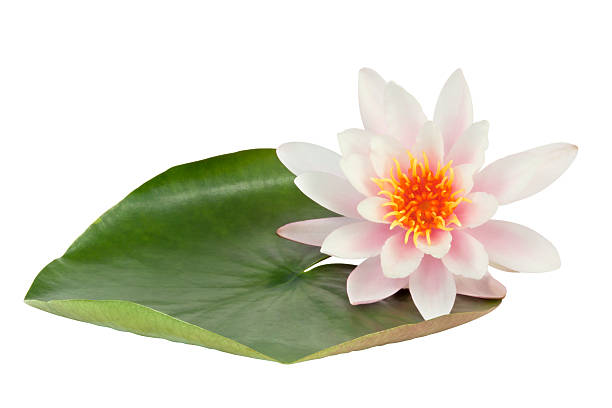 Pink Lotus flower Pink Lotus flower  with leaf isolated on white background. Clipping path included. water lily stock pictures, royalty-free photos & images