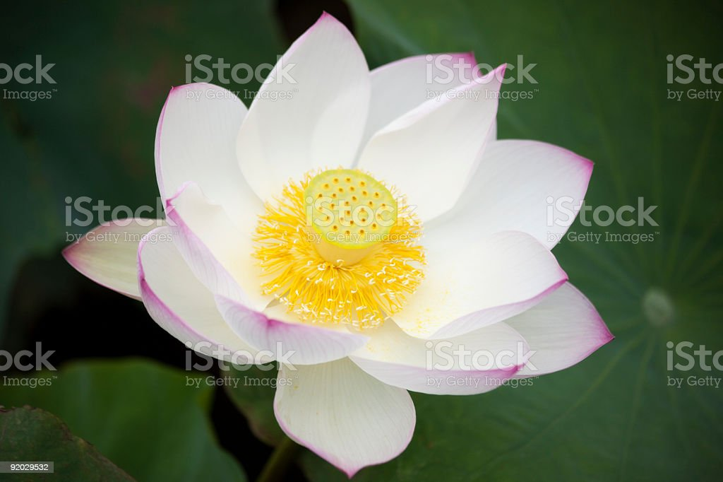 Pink Lotus Flower royalty-free stock photo