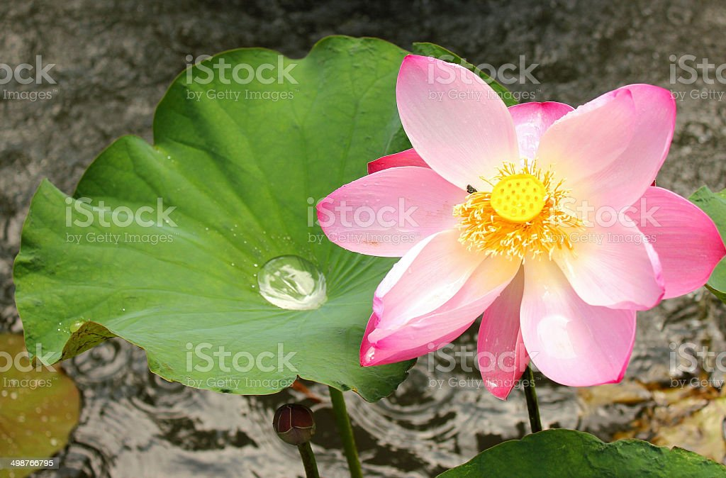 Pink Lotus Flower Symbolize Peace Stock Photo More Pictures Of