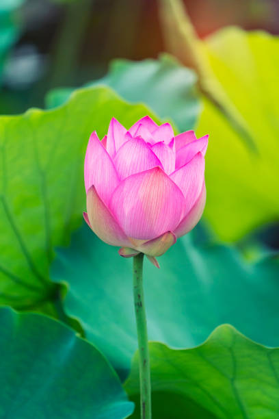 Pink lotus flowers among green leaves stock photo