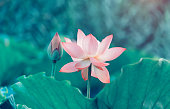 Pink lotus flowers among green leaves