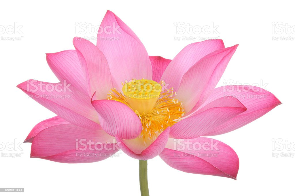 Pink lotus flowers and on white background royalty-free stock photo