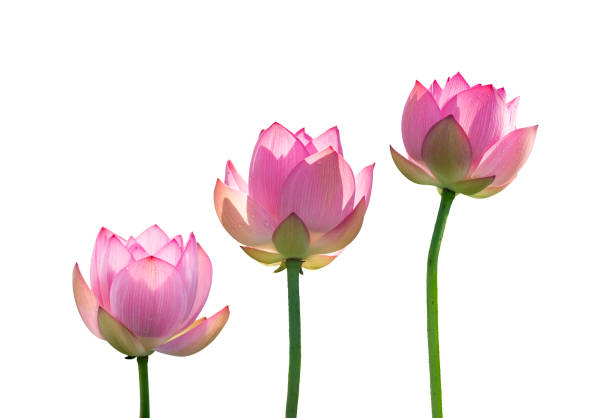 Pink lotus flowers isolated on white stock photo