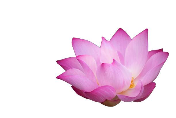 rosa lotus blumen - lotus symbol stock-fotos und bilder
