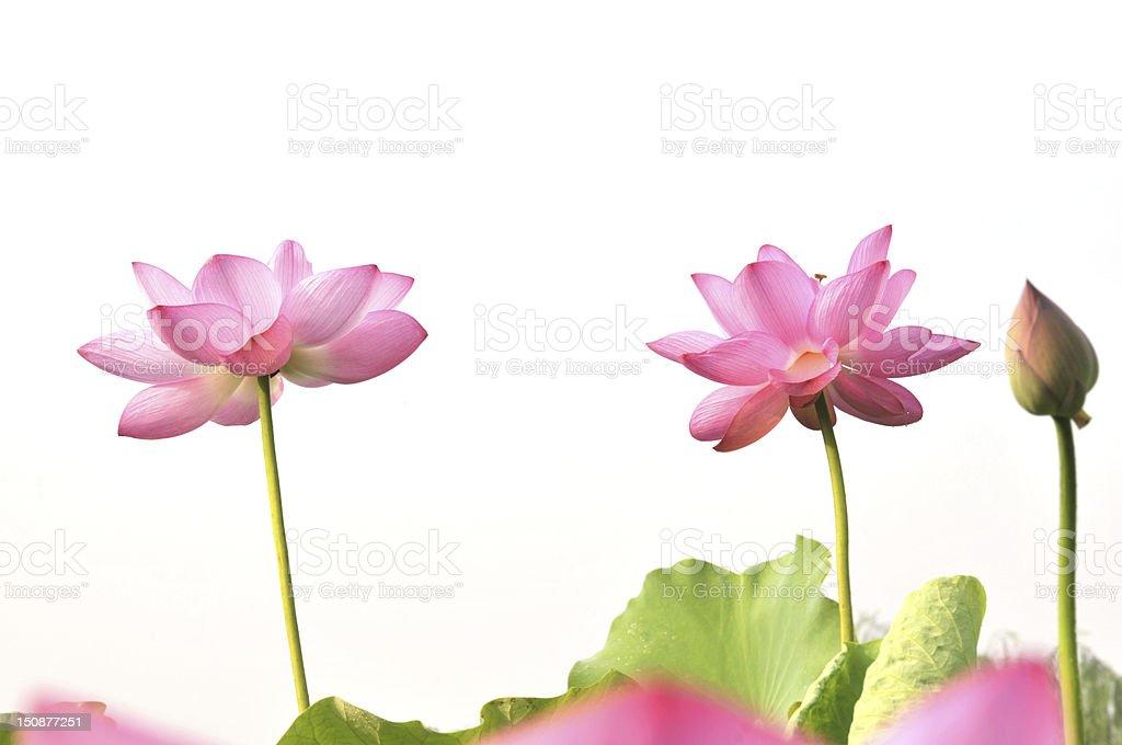 Pink lotus flowers royalty-free stock photo