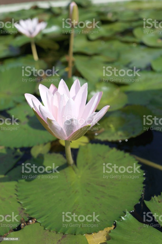 Pink lotus in a pond with bloom. foto royalty-free