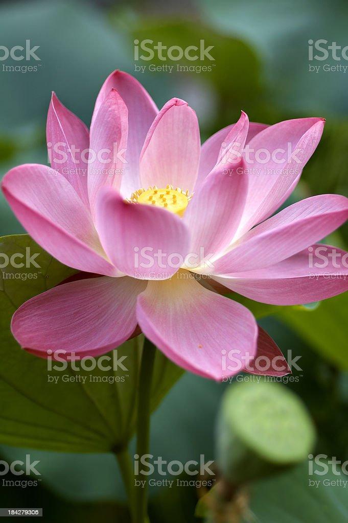Pink Lotus in Pond stock photo