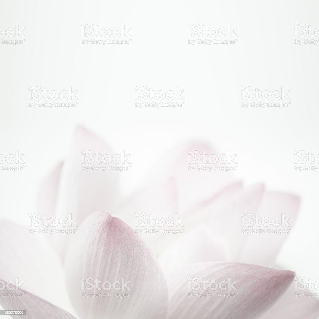 Rosa Lotus in sanften Farben und Stil für Hintergrund verwischen – Foto