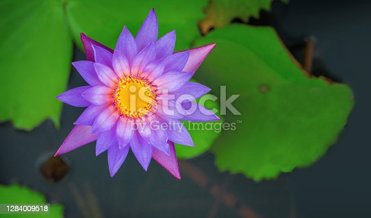 Pink lotus in soft light over nature pond, Flat top view, Nature background concept