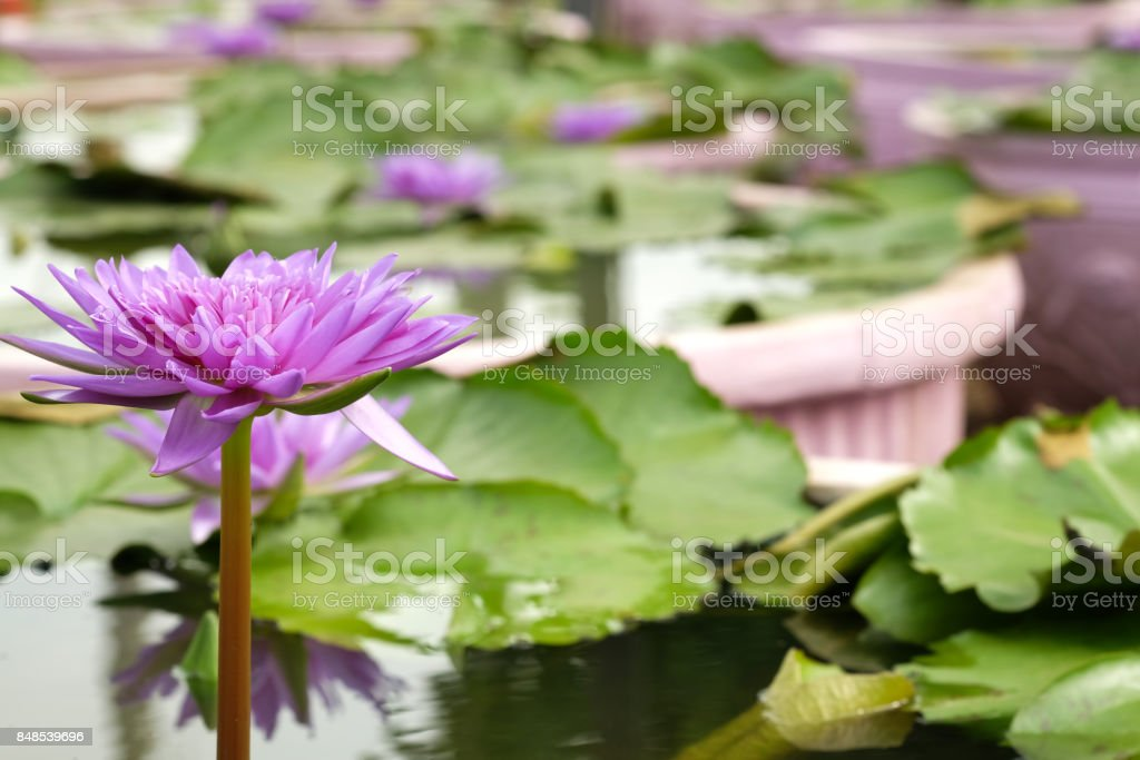 Pink lotus in the green pool. stock photo