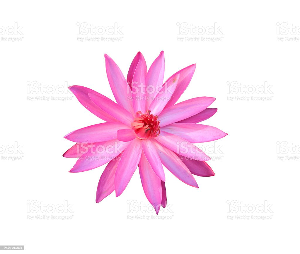 pink lotus isolated on white background. foto royalty-free