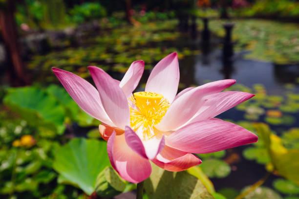 Rosa Lotus auf dem Teich – Foto