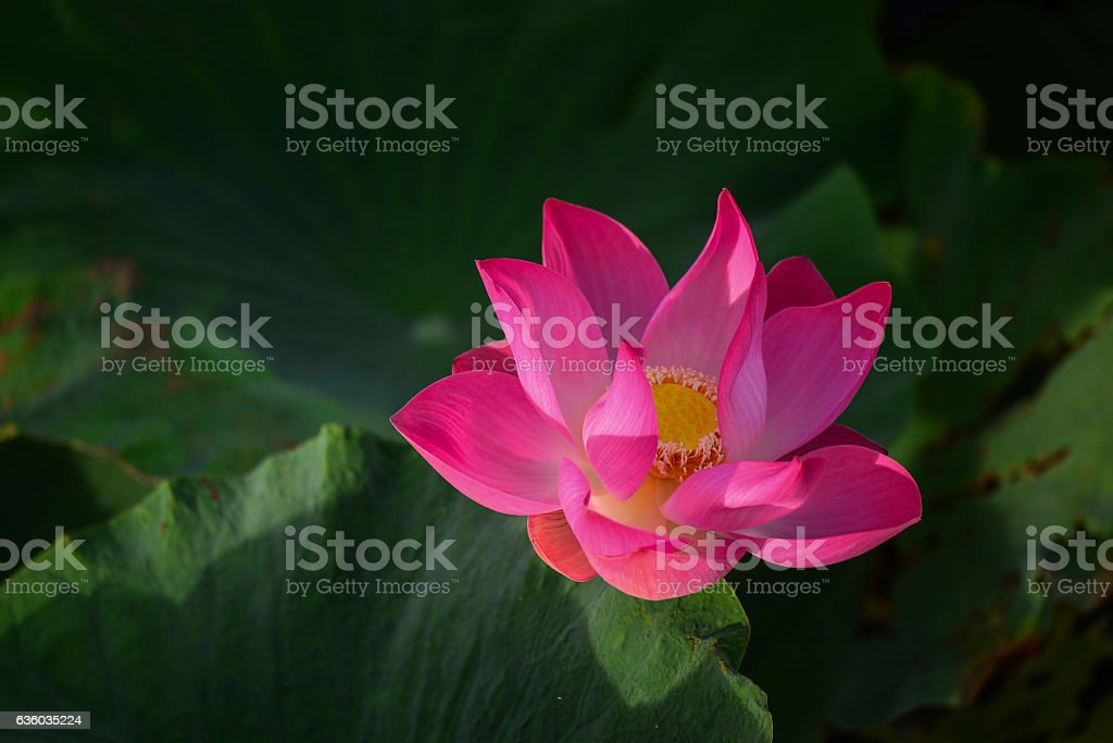 Pink lotus or waterlilly on the pong with morning light stock photo