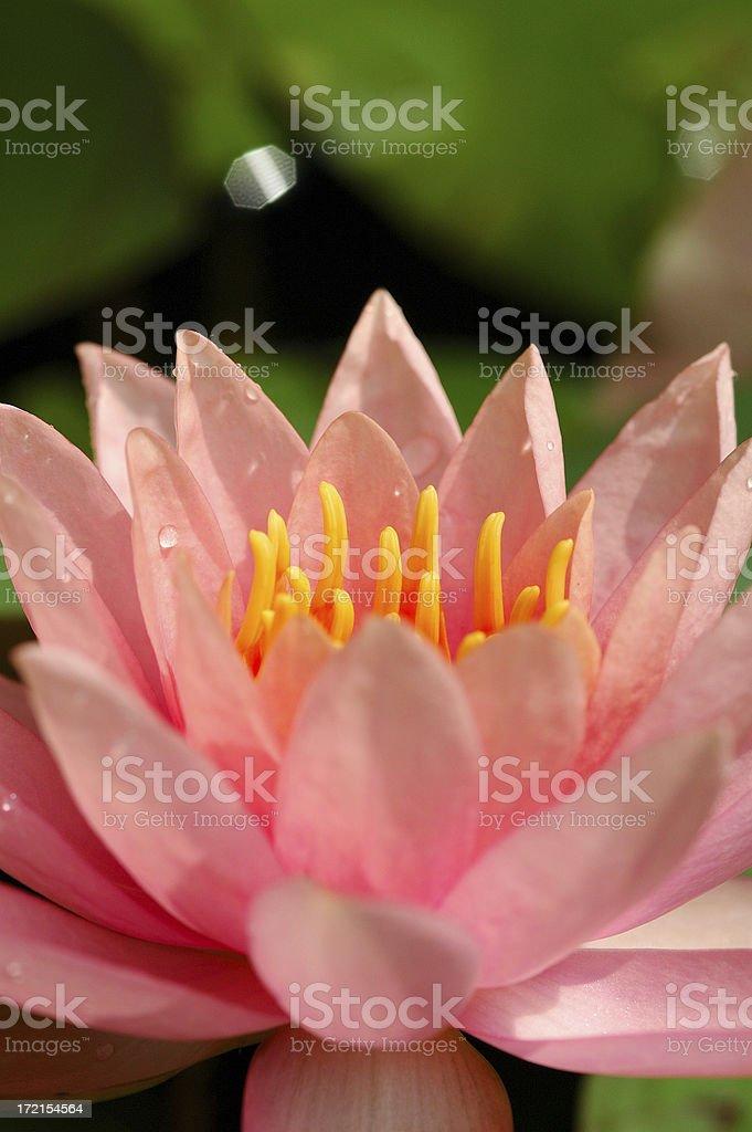 Pink lotus. royalty-free stock photo