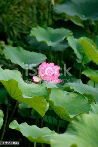 A pink lotus blossom.