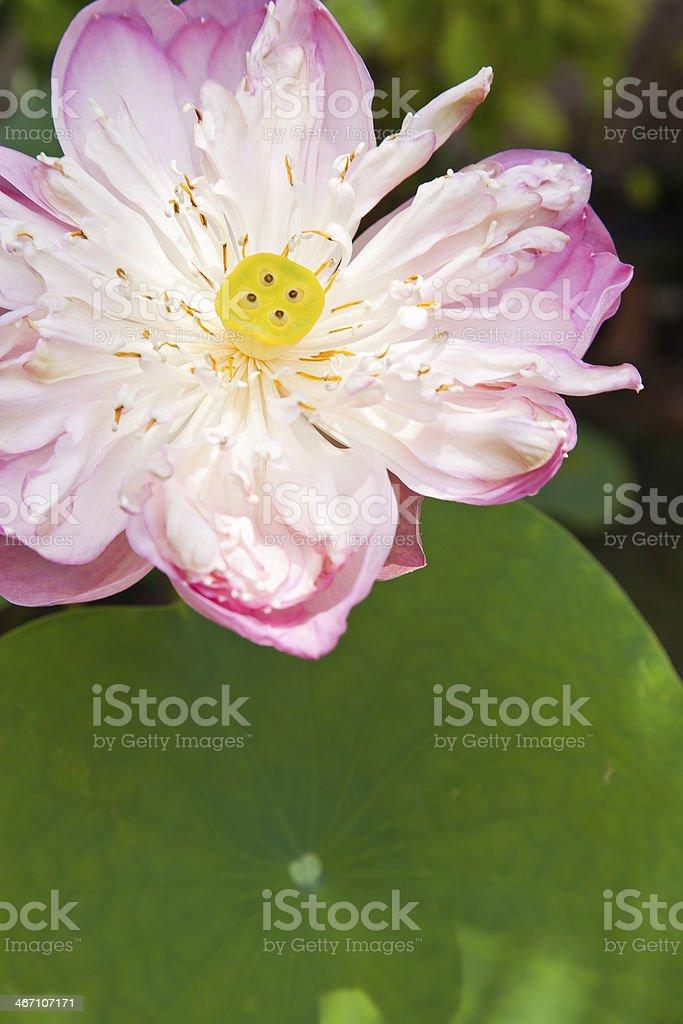 Pink lotus royalty-free stock photo