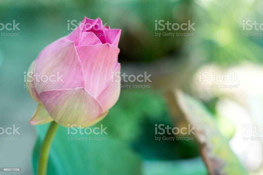 Rosa lotus  foto de stock libre de derechos