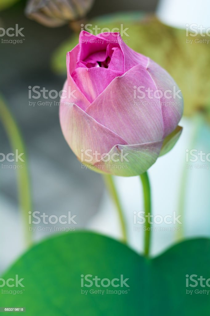 pink lotus foto stock royalty-free