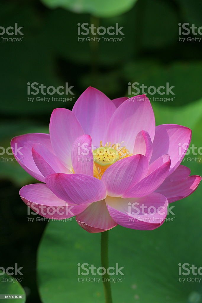 pink lotus - vertical composition royalty-free stock photo