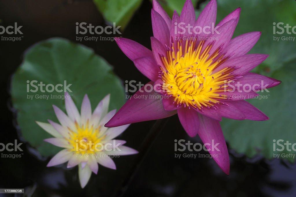 pink lotus water lily royalty-free stock photo