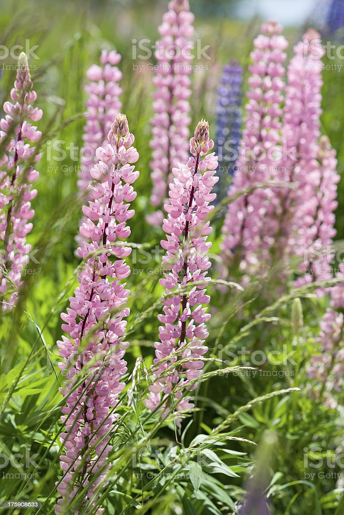 Pink lupins royalty-free stock photo