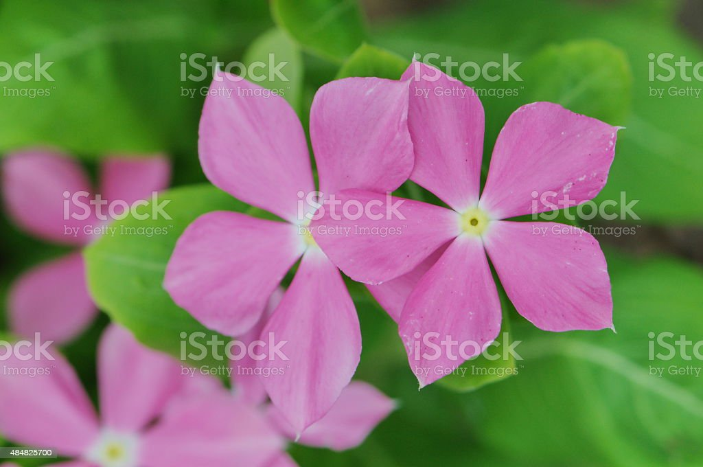 Pink Madagasgar Periwinkle stock photo