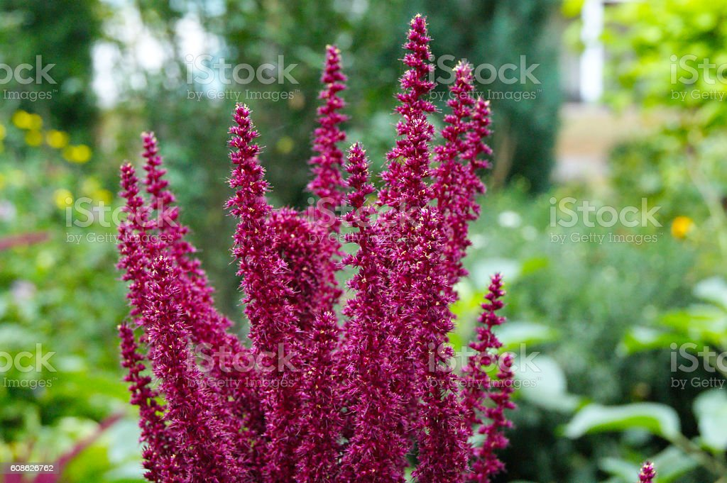 Pink magenta astilbe with green leaves in a garden stock photo