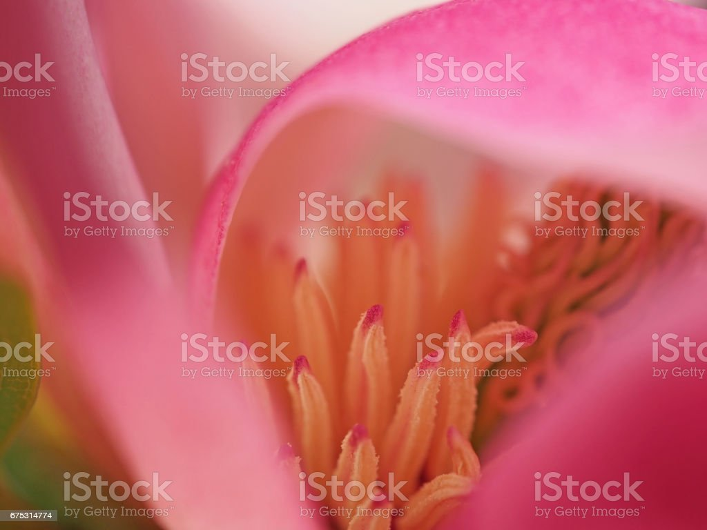 Pink Magnolia Abstract stock photo