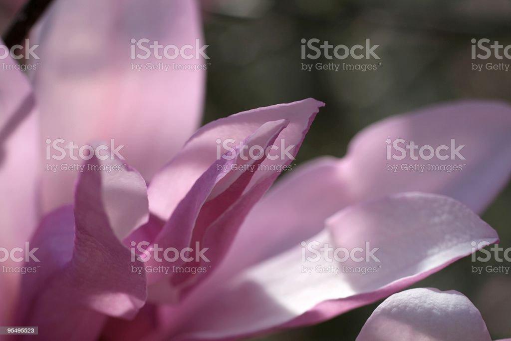Pink Magnolia Bloom royalty-free stock photo