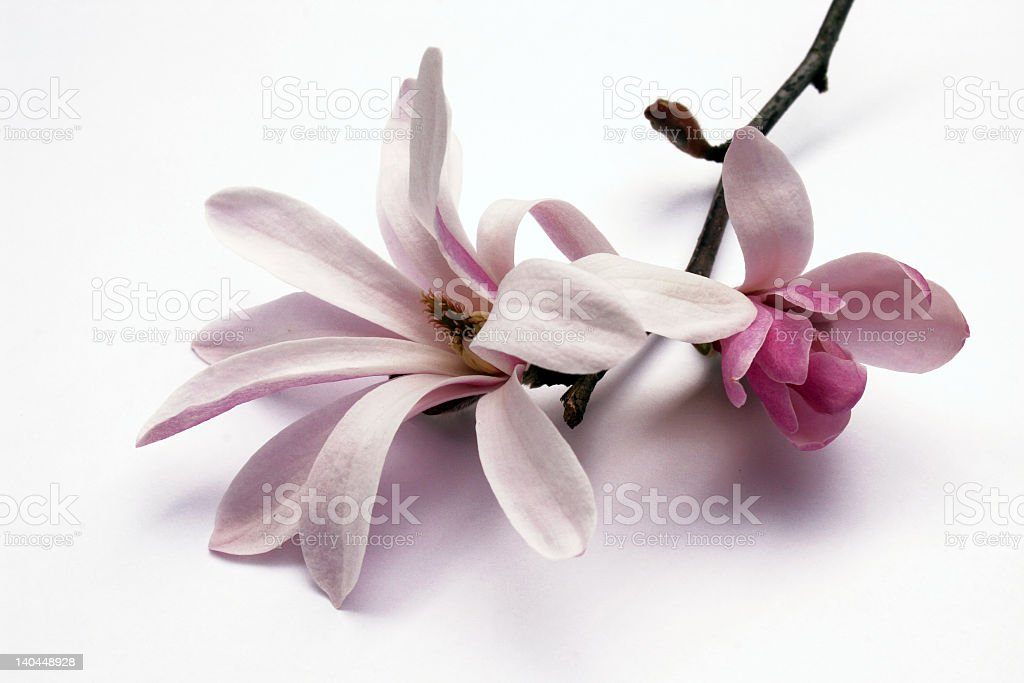 Pink magnolia blossom and bud on a branch stock photo