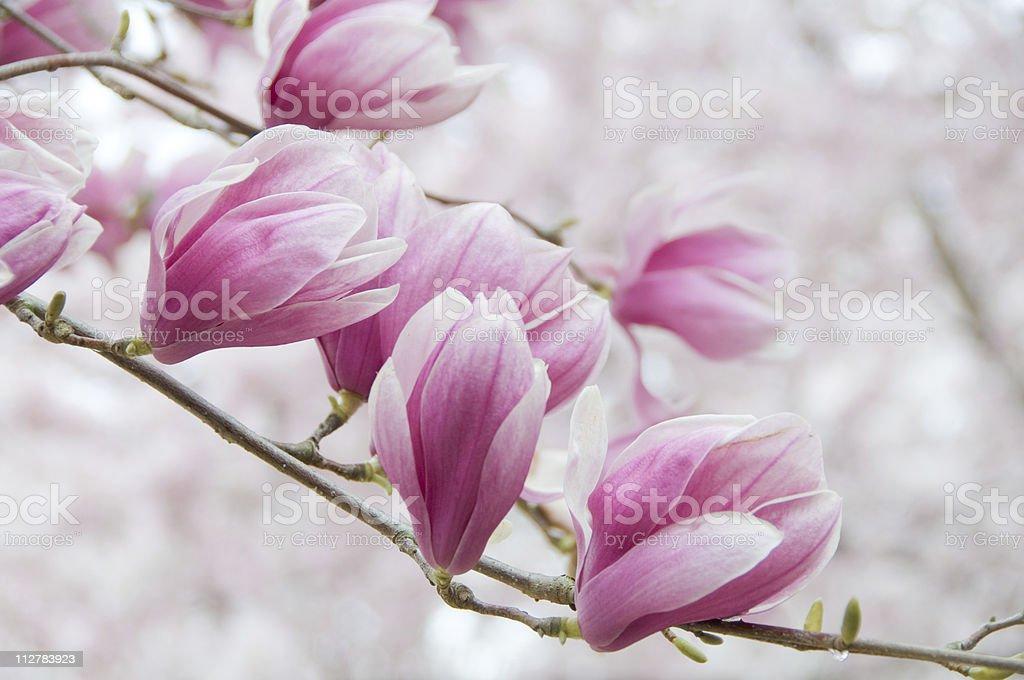 Pink magnolia blossom royalty-free stock photo