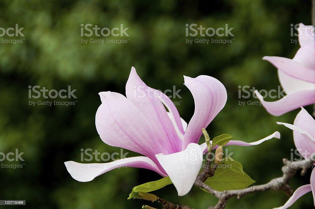 Pink magnolia blossom stock photo
