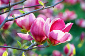 ピンクのマグノリアの花