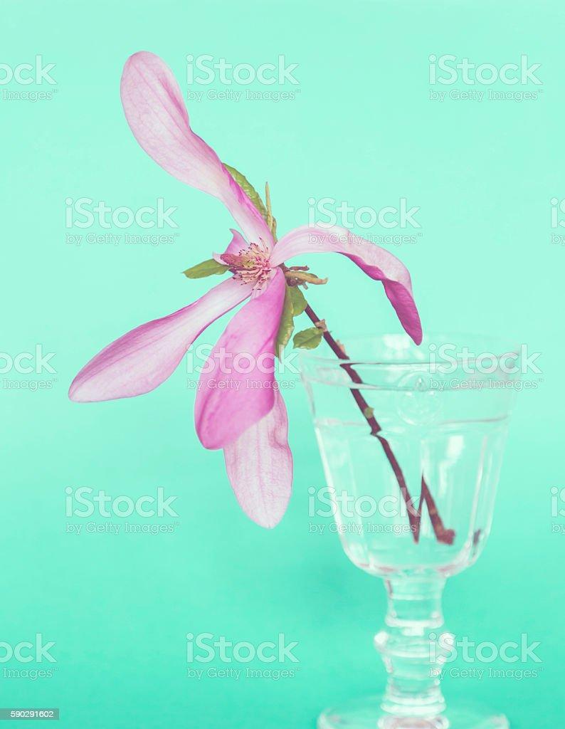 Pink magnolia blossom royaltyfri bildbanksbilder