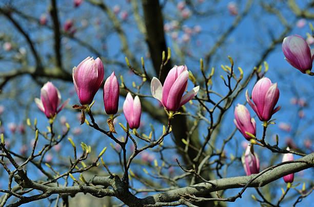 Pink magnolia buds stock photo