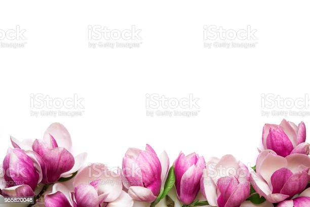 Pink magnolia flowers isolated on white background with copy space picture id955820048?b=1&k=6&m=955820048&s=612x612&h=gzjp2s6mq4cibsbnvo611fppn hftok5cc7fgyrc0mk=