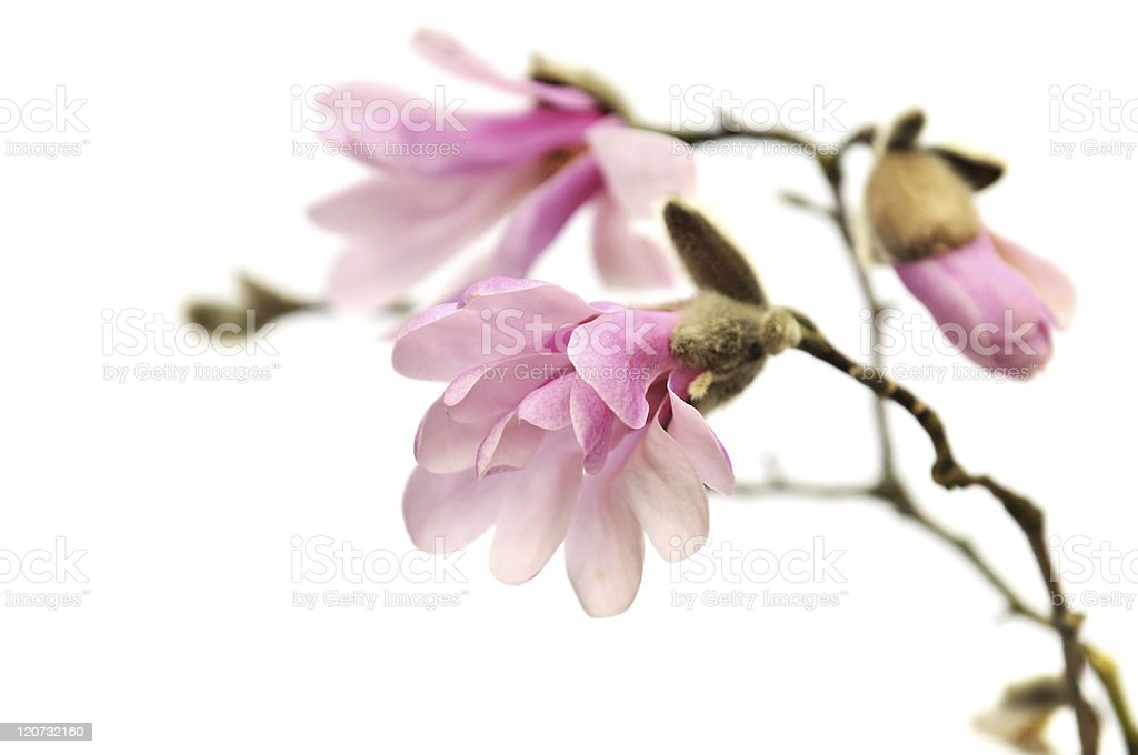 Pink magnolia flowers isolated on white royalty-free stock photo