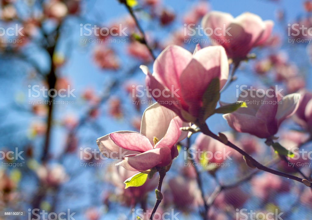 pink Magnolia flowers on tree branch stock photo