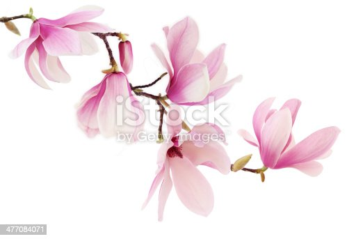 istock Pink magnolia flowers on white background 477084071