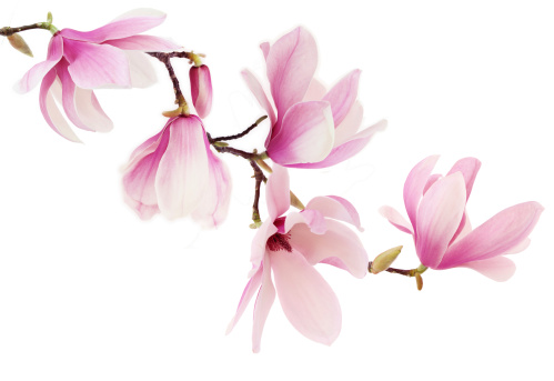 Pink magnolia flowers on white background
