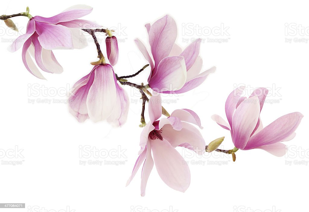 Pink magnolia flowers on white background stock photo