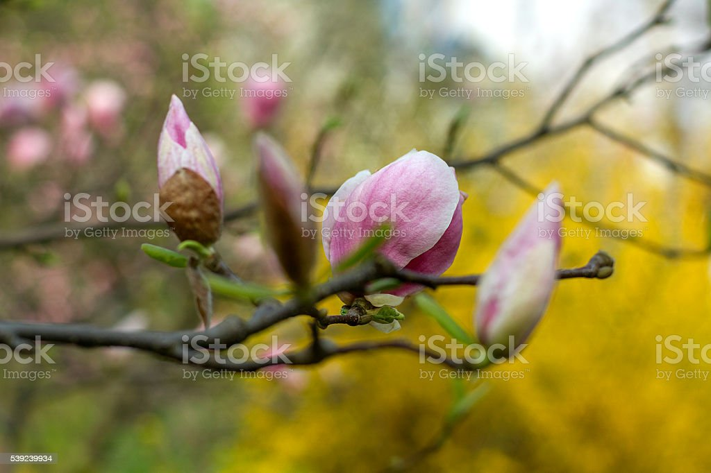 pink magnolia flowers royalty-free stock photo