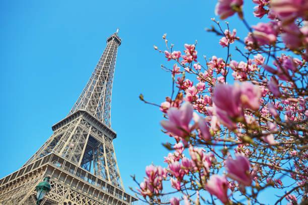 fleurs de magnolia rose avec tour eiffel - paysage mois de mars photos et images de collection