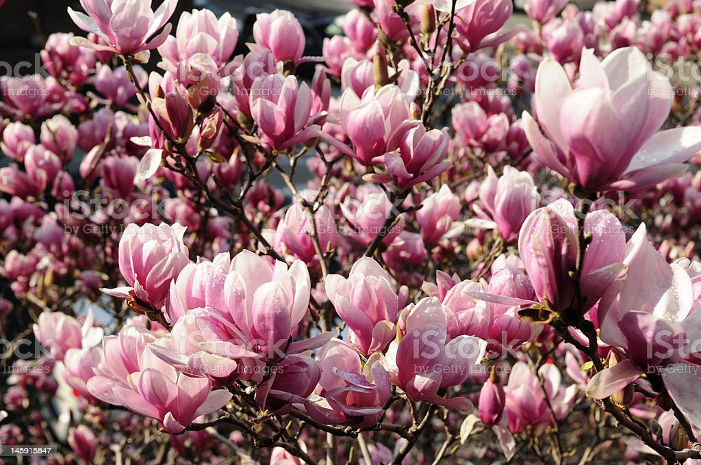 Pink Magnolia in Spring royalty-free stock photo
