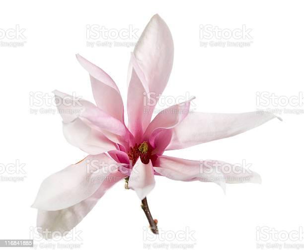 Pink magnolia picture id116841885?b=1&k=6&m=116841885&s=612x612&h=ytjugwddi4vjmacijb49b8ygpap xhx6gtyvmjf1xuc=
