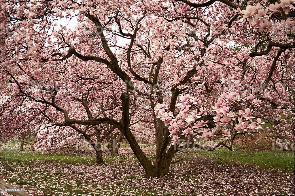 Pink magnolia stock photo