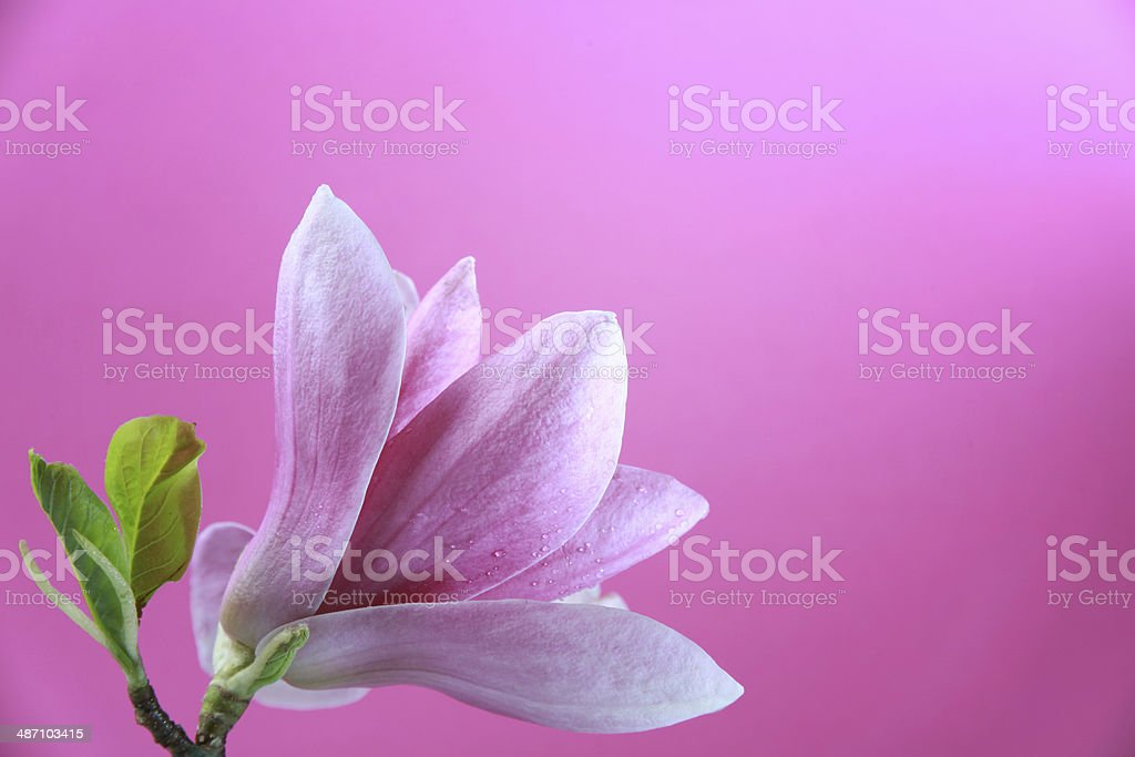 Pink magnolia stock photo
