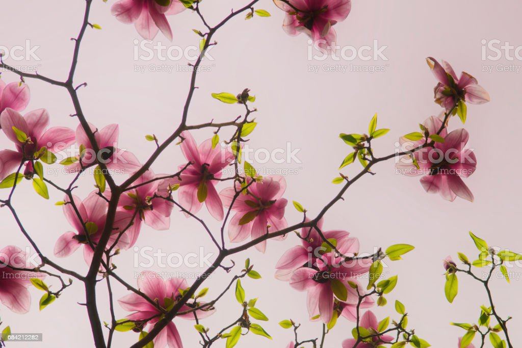 Pink Magnolia royalty-free stock photo